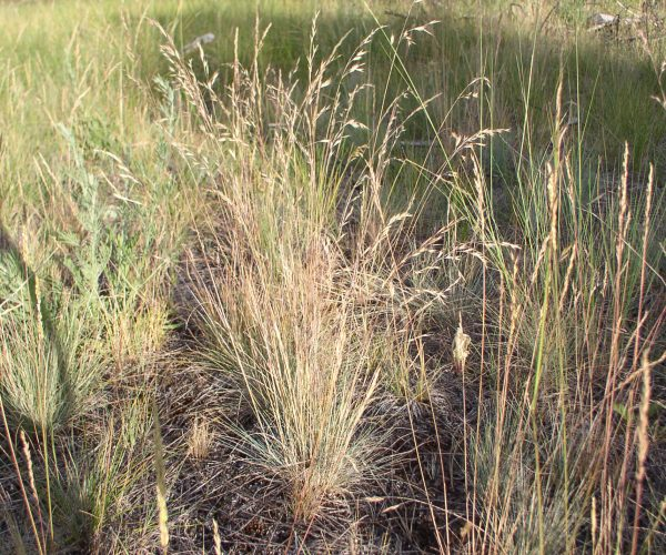 grassland with upright plant of Idaho fescue in seed