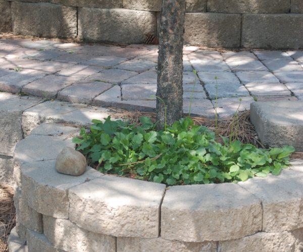 green alumroot plants in concrete block planter