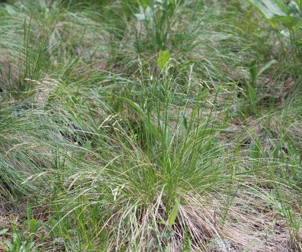 draping tufts of rough fescue grass