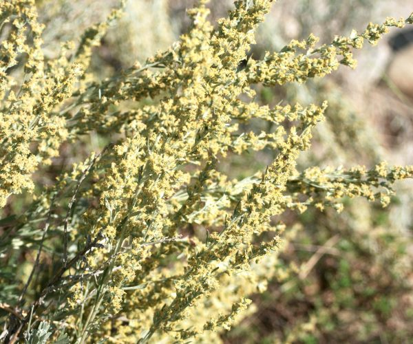 sagebrush stems covered with tiny pale yellow flowers
