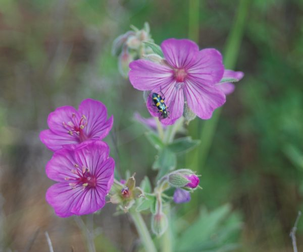 black beetle with yellow spots on sticky geranium flower