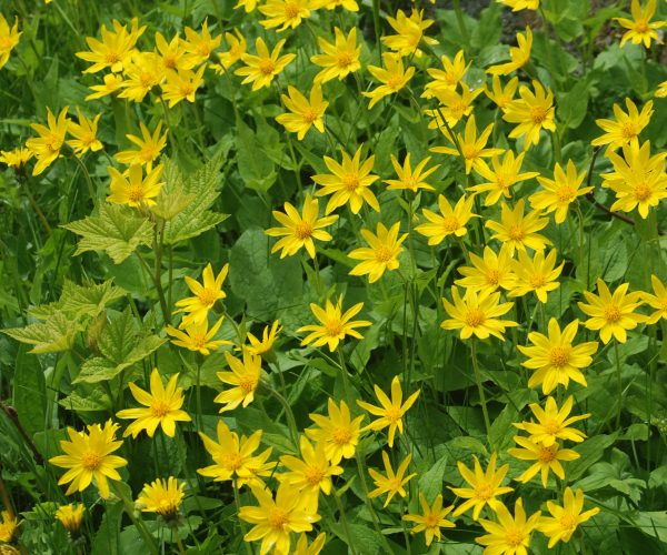 dense patch of yellow ray flowers