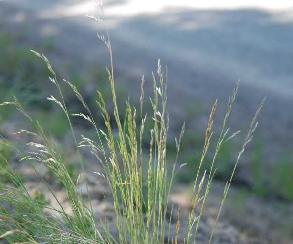 seedheads of Idaho fescue grass, panicle