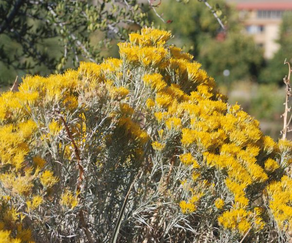 bright yellow color of rabbitbrush flowers