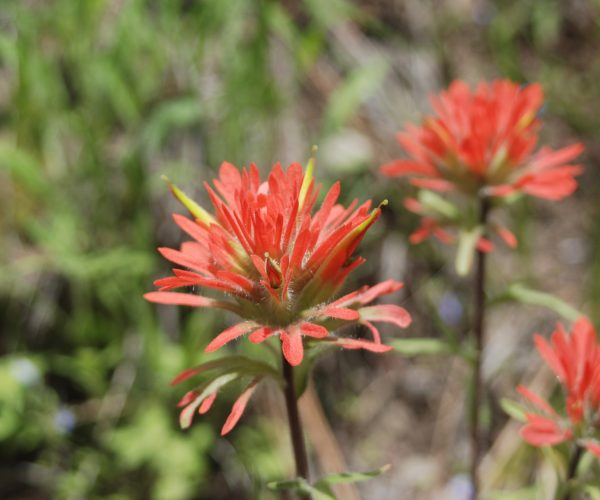 several red paintbrush flowers on erect brown stems