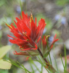 single red Indian paintbrush with a few yellow-green bracts