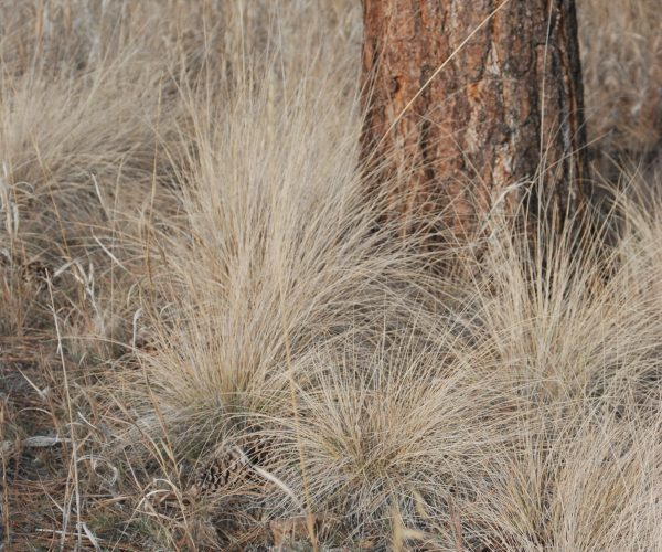 tan, draping clumps of rough fescue grass near pine tree