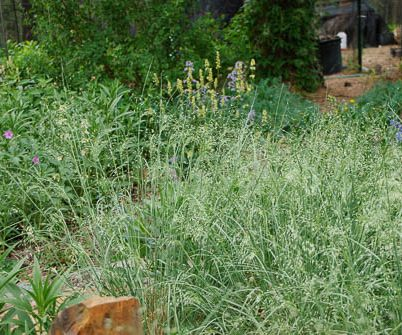sprays of Indian ricegrass in the garden