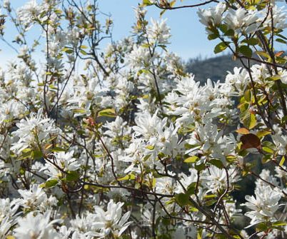 profusion of white flowers on shrub