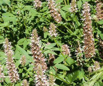 nettleleaf horsemint flowers in garden
