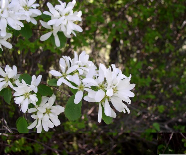 white serviceberry blossoms