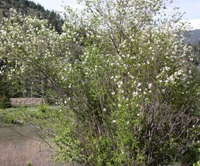 serviceberry shrub blooming near river