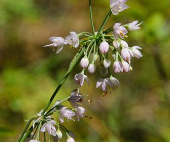 two nodding onion flowers