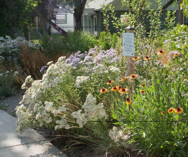 yarrow among bergamot, and blanket flowers