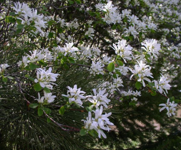 serviceberry shrub in bloom