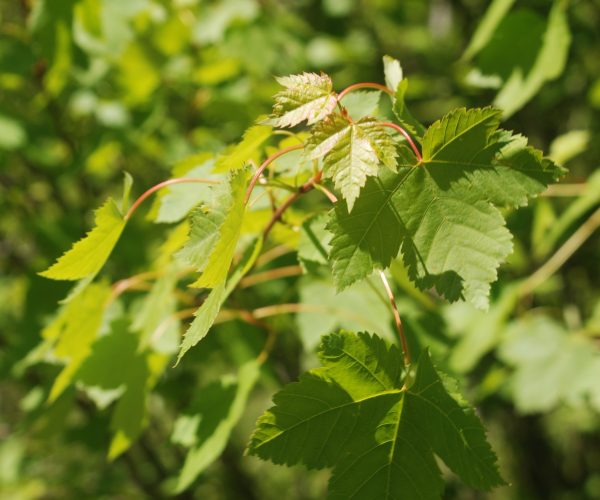 several green maple leaves