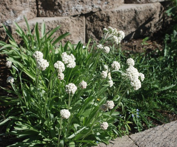 pearly everlasting in garden