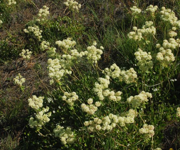 patch of green groundcover with pale yellow flowers in umbels