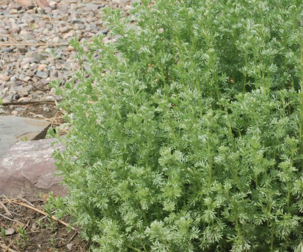 single plant of silvery-green fringed sage