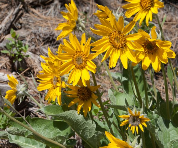 yellow arrowleaf balsamroot flowers stand erect above arrow-shaped leaves