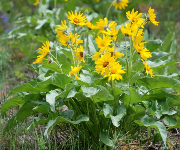 single plant of arrowleaf balsamroot with multiple yellow ray flowers