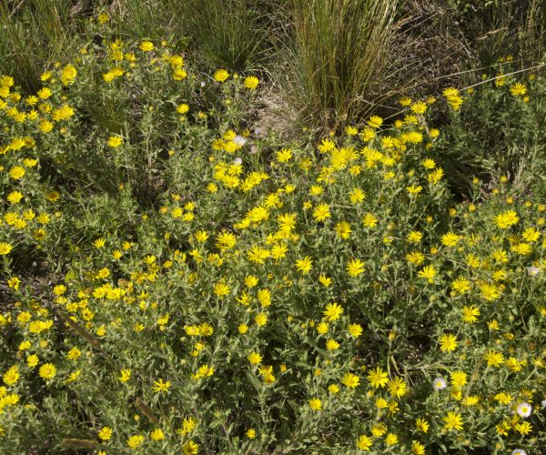 patch of small yellow ray flowers on hairy green foliage