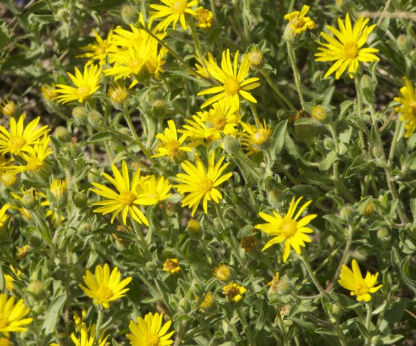 yellow ray flowers amidst green hairy foliage and lots of buds