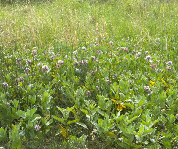 large group of showy milkweed plants with round clusters of pink flowers atop stems