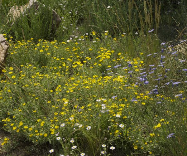 tufts of yellow flowered plants in a native garden