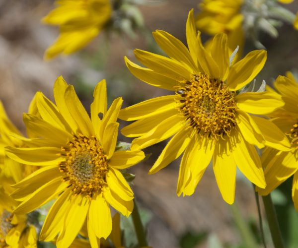 several yellow ray and disk flowers catch sunlight