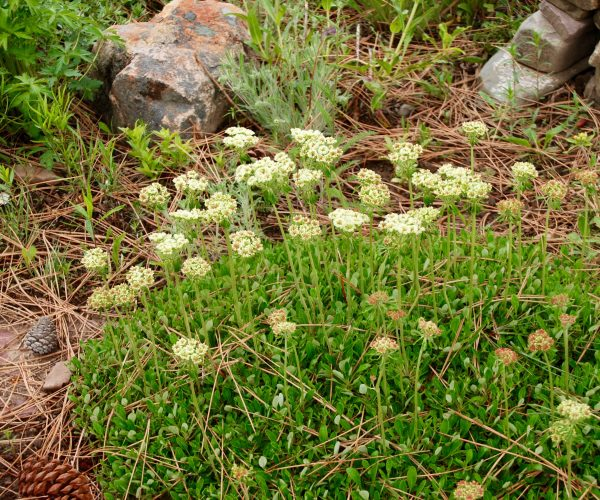 green groundcover with erect stems of pale yellow flowers and reddish-brown buds