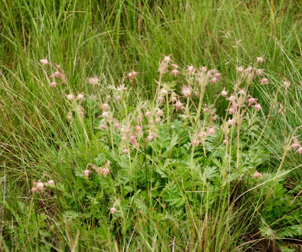 clump of prairie smoke with pink flowers