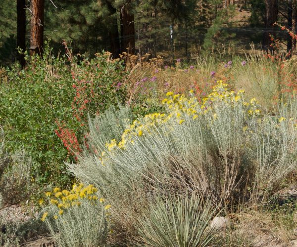 rabbitbrush shrub among reds and purples of other native plants in garden