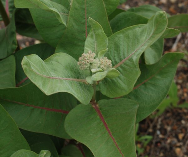 milkweed leaves showing pink-red vein running from stem to tip of each leaf