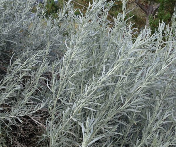 narrow silver-grey leaves on multiple branches