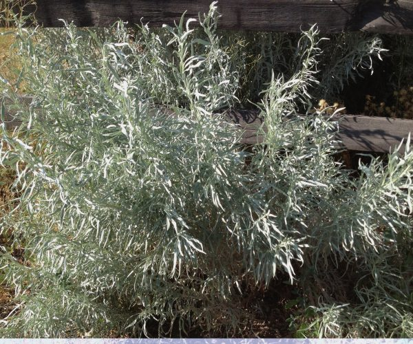 single shrub of silver sage next to weathered fence