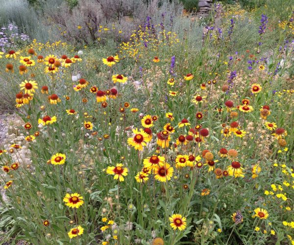 profusion of yellow blanket flowers among other purple, yellow and lavender flowers