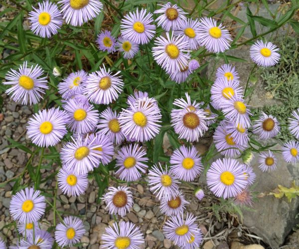 multiple purple ray flowers with yellow centers