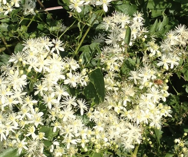 white flowers in dense masses covering green vine