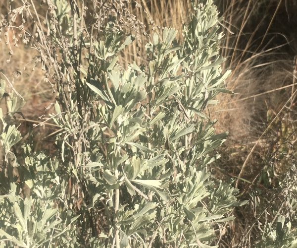 mountain big sage plant showing silvery green leaves each with three tips
