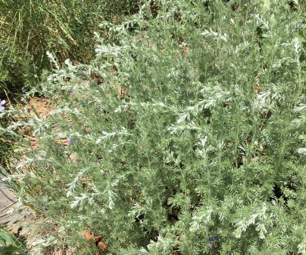 single plant of silvery-green fringed sage with drooping new stems