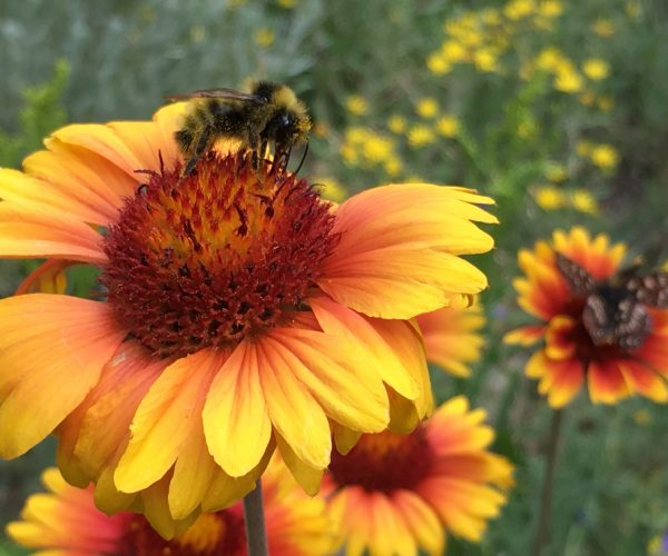 closeup of blanket flower with a bumblebee feeding on disc flowers