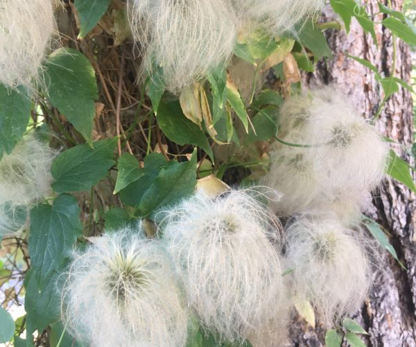 white fluffy seedheads clustered on green vine