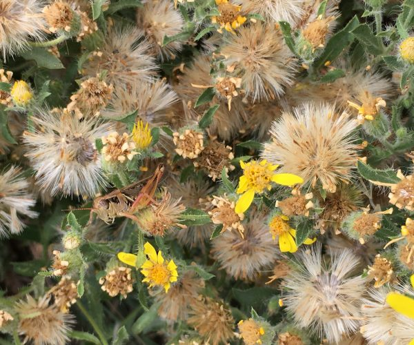 fluffy seedheads of hairy golden aster
