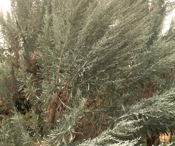 branches of big sage with silvery green buds covering ends of branches