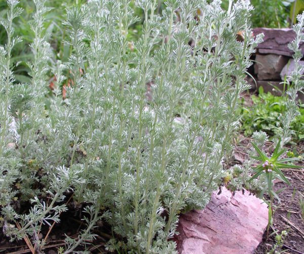 silvery green upright stems of fringed sage