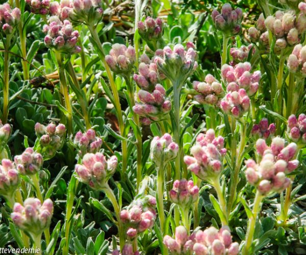clusters of pink and white flowers against green foliage