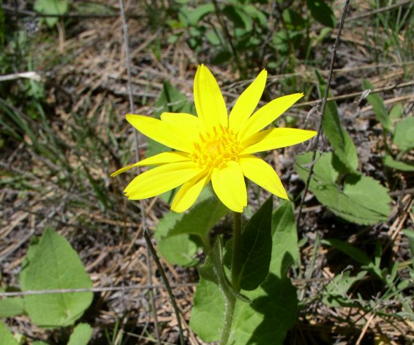 single yellow ray flower on heart-shaped green leaves