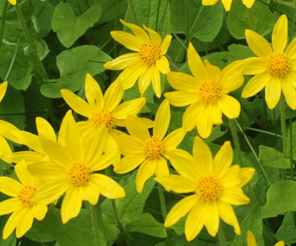 cluster of yellow ray flowers