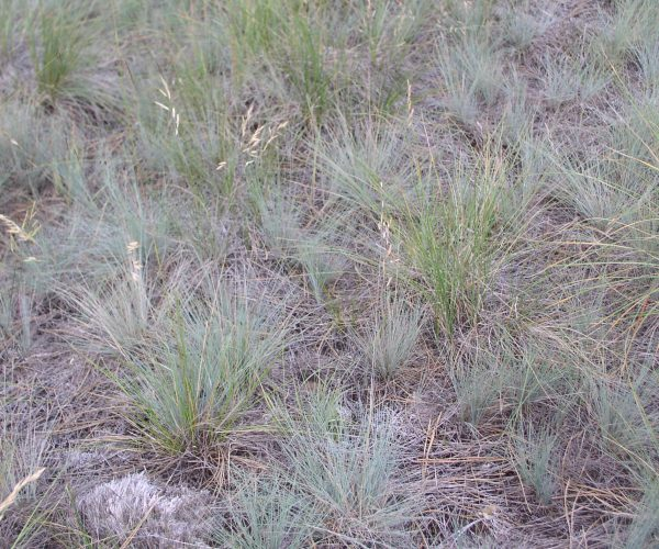 grassland with both Idaho fescue and rough fescue plants